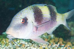BD-141017-Komodo-5295-Parupeneus-crassilabris-(Valenciennes.-1831)-[Doublebar-goatfish].jpg